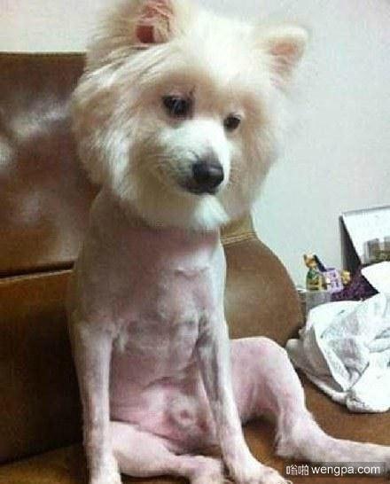 狗狗被剃完毛发之后,不由得思考起了汪生