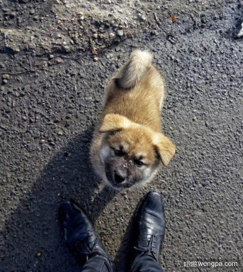我两个月大的秋田犬