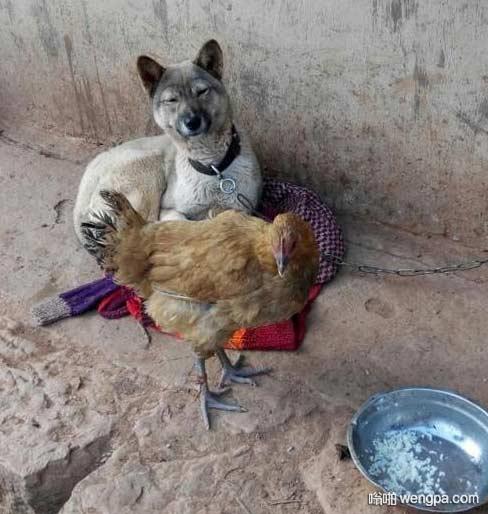 中华田园犬也是蛮可爱的嘛