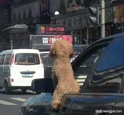 泰迪上一个主人是骑自行车的 泰迪犬搞笑图片 - 嗡啪网