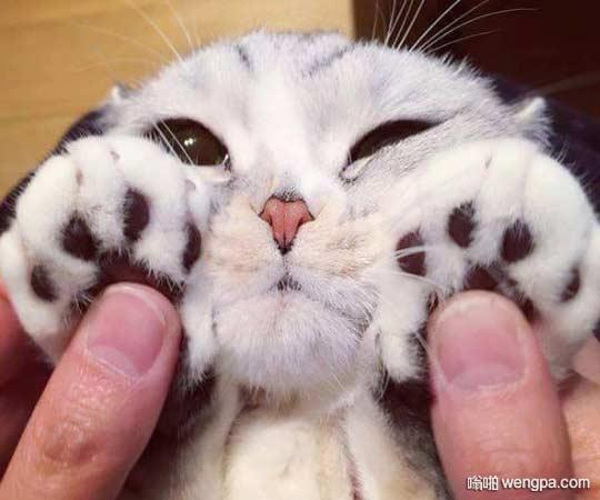 可爱的猫咪以及它可爱的爪子 第一眼以为是只小雪豹呢 - 嗡啪网