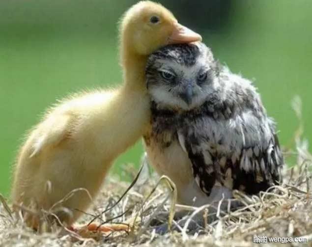 猫头鹰宝宝和小黄鸭宝宝萌宠图片 - 嗡啪网