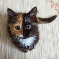一只叫Elizabeth的可爱猫咪 有两副面孔呢~~~萌翻了!(8)