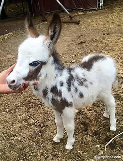 还有比这更可爱的小毛驴吗