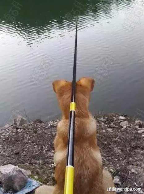 有用的狗狗 省了鱼竿支架钱 狗狗搞笑图片 - 嗡啪网