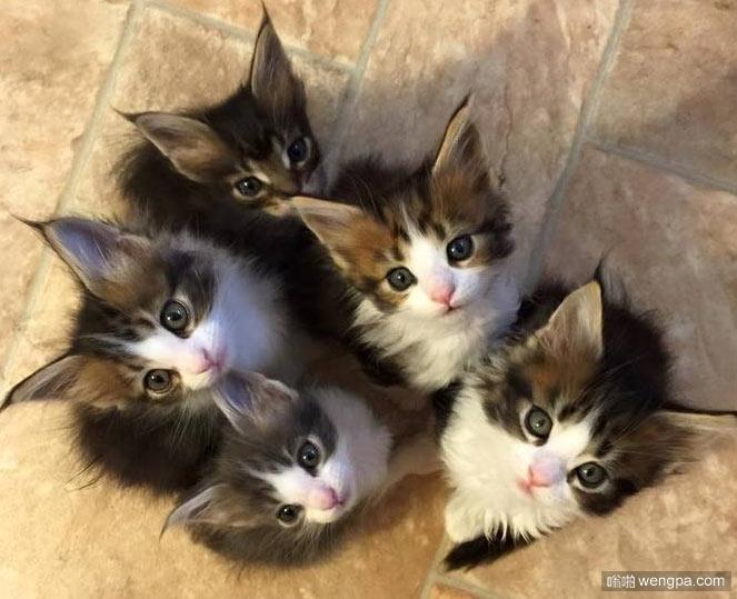 缅因猫宝宝 可爱缅因猫小猫咪萌宠图片 - 嗡啪网
