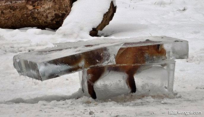 多瑙河河上的冰 一个猎人发现了狐狸的尸体 把它从冰上砍了出来