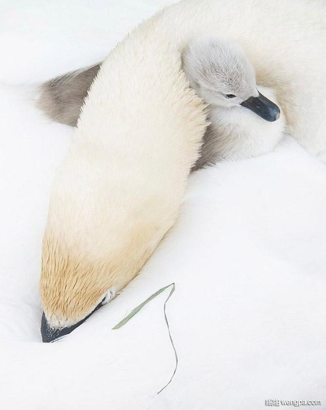 疣鼻天鹅用颈部温暖疣鼻小天鹅宝宝