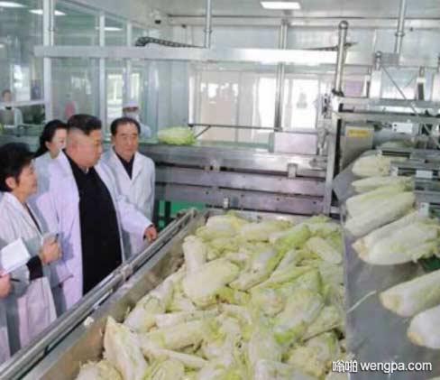 金正恩视察泡菜厂 除了做泡菜,最高司令官对白菜的生吃和烹食,也提出了宝贵建议。 