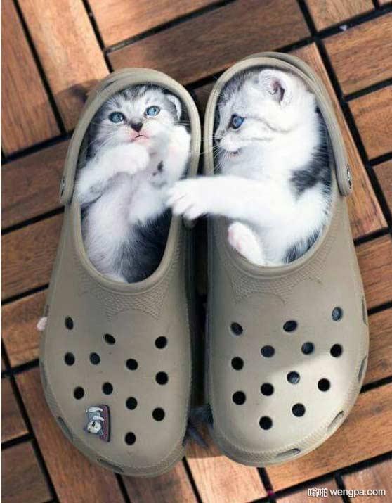 可爱猫咪把鞋子当成自己的窝 猫咪萌宠图片 - 嗡啪网