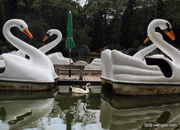 一只鸭子在天鹅船附近 象征在新的一年实现大事的潜力