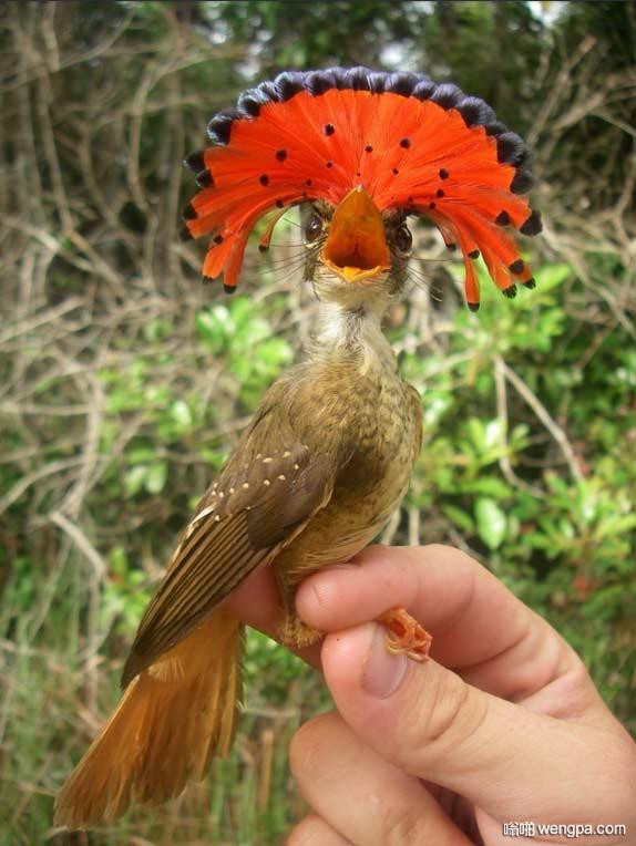 皇霸鹟 你可能从未见过的珍奇鸟类