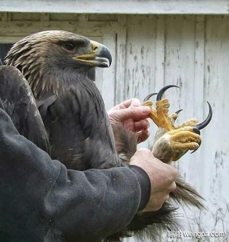 老鹰锋利的爪子 寒光闪闪啊