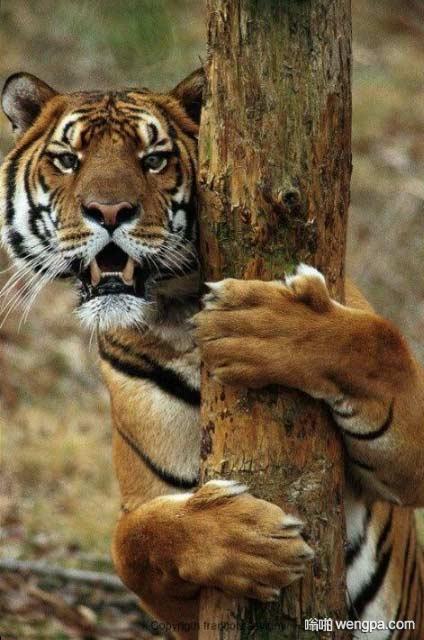 是什么能让老虎目瞪口呆 老虎搞笑图片 - 嗡啪网