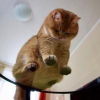 绿眼睛橘皮胖猫就喜欢吃和睡 主人很无奈(6)
