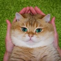 绿眼睛橘皮胖猫就喜欢吃和睡 主人很无奈(4)