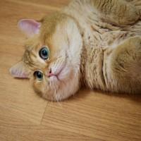 绿眼睛橘皮胖猫就喜欢吃和睡 主人很无奈(3)