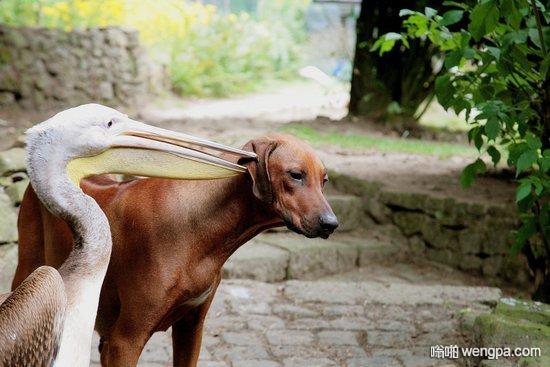 鹈鹕怀疑狗狗偷吃 检查了嘴巴还不放心最后干脆一口含住了狗头