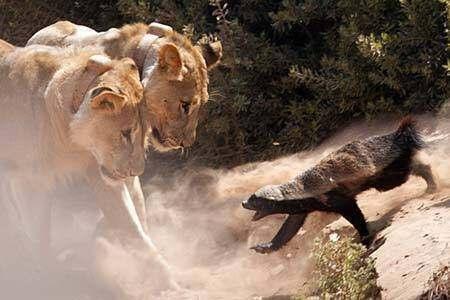 平头哥蜜獾遭遇狮子也不输气势