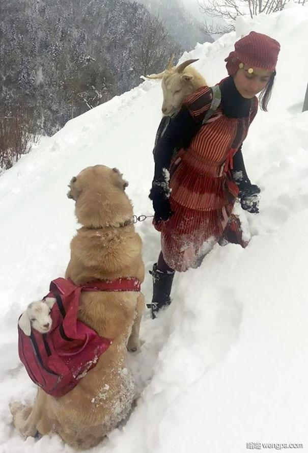 山羊野外产仔 放羊小女孩和狗狗将山羊母子用背包背回家