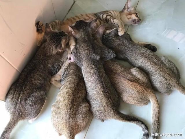 越南的这只猫妈妈最近有点无奈 孩子这么大了还不断奶