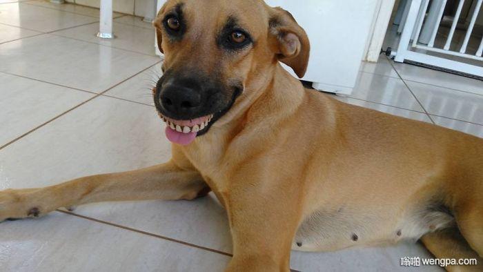 狗狗回家一直露8颗牙齿笑着,什么事儿那么好笑