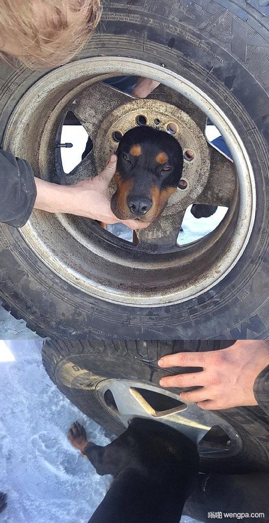 杰伦你怎么了杰伦 狗狗卡在轮胎里 - 嗡啪网