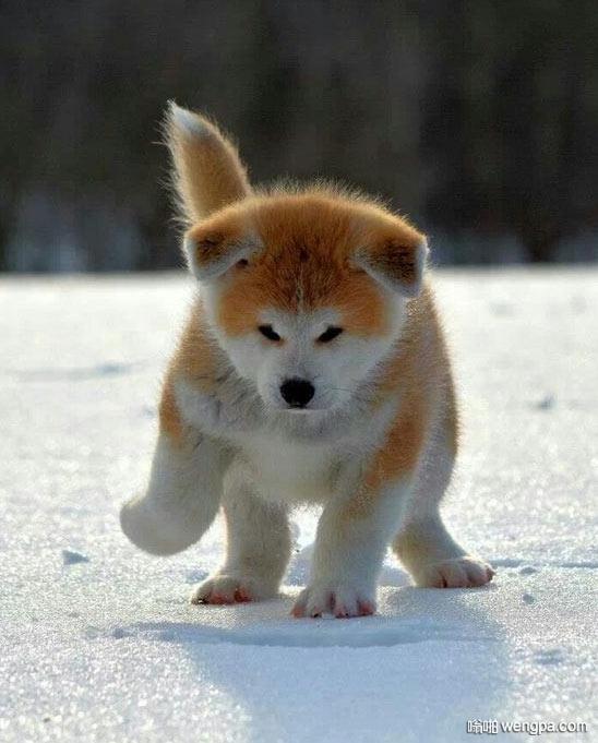 这个是秋田犬小狗么 太可爱了 可爱秋田犬小狗 - 嗡啪网