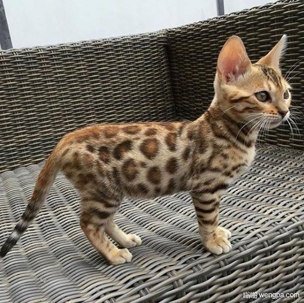 可爱的小豹猫 这豹纹漂亮