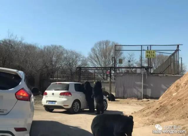 八达岭野生动物园私家车遭黑熊扒窗讨食 - 嗡啪网