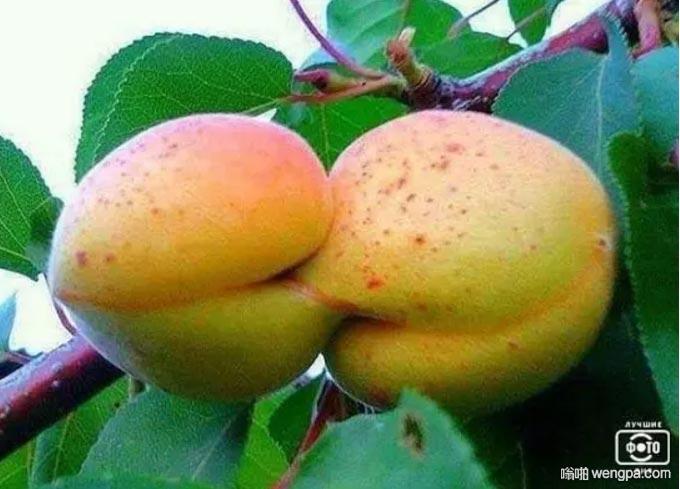 相亲相爱的一对桃子献给情人节