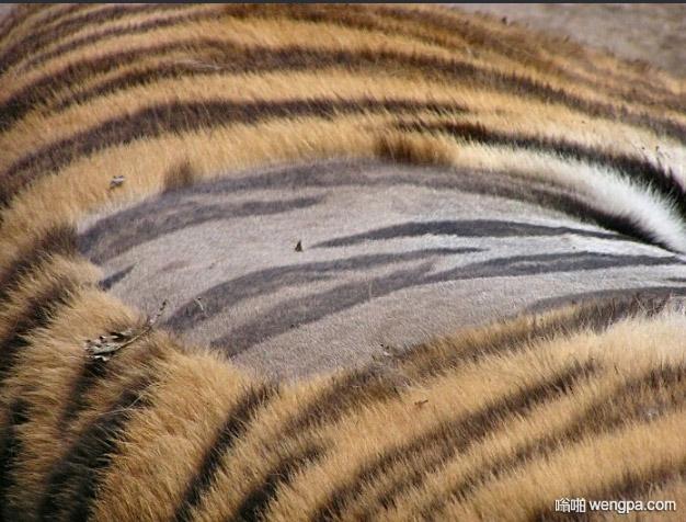 老虎的皮肤也是条纹的