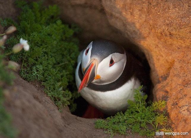 一只忧郁的海雀从洞内张望