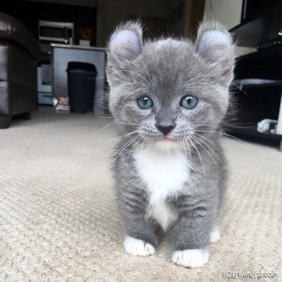 可爱灰色小猫咪 看圆耳朵有点像豹子哦 猫咪萌宠图片 - 嗡啪网