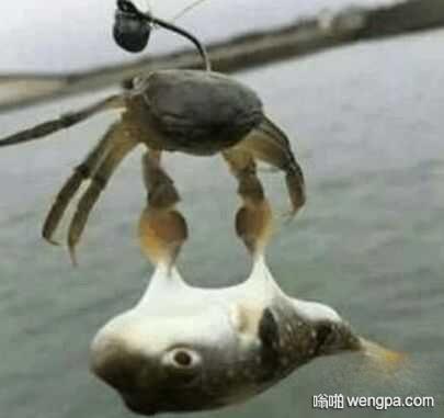 【螃蟹搞笑图片】用螃蟹钓鱼 还真钓上来了 - 嗡啪网