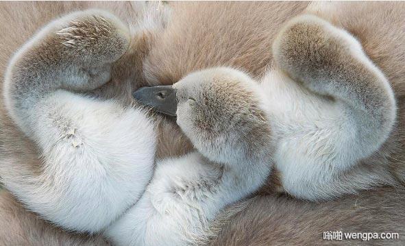 疣鼻小天鹅睡在一起