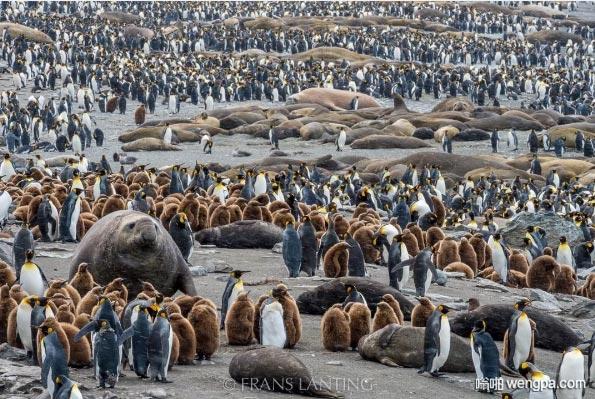 繁忙的南乔治亚岛 海象海豹帝企鹅栖息地