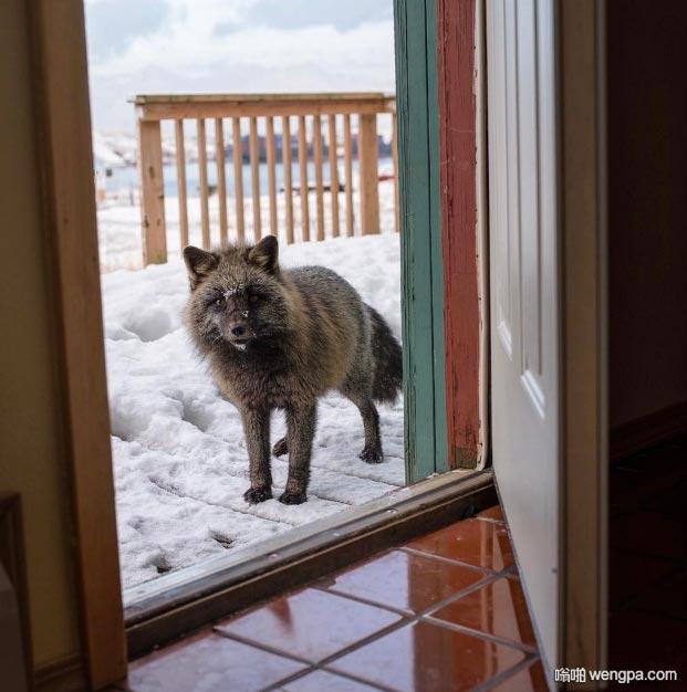 阿拉斯加北极狐一脸懵逼 萌宠图片 - 嗡啪网