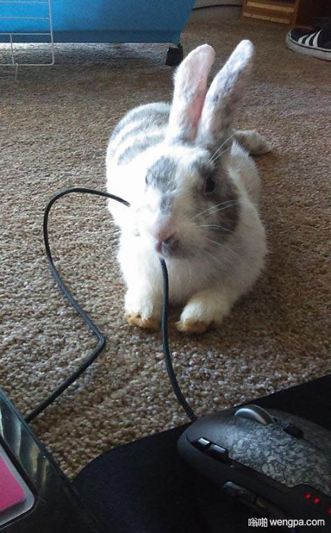 【兔子咬东西】该换个无线鼠标了 兔子咬断电线 - 嗡啪网