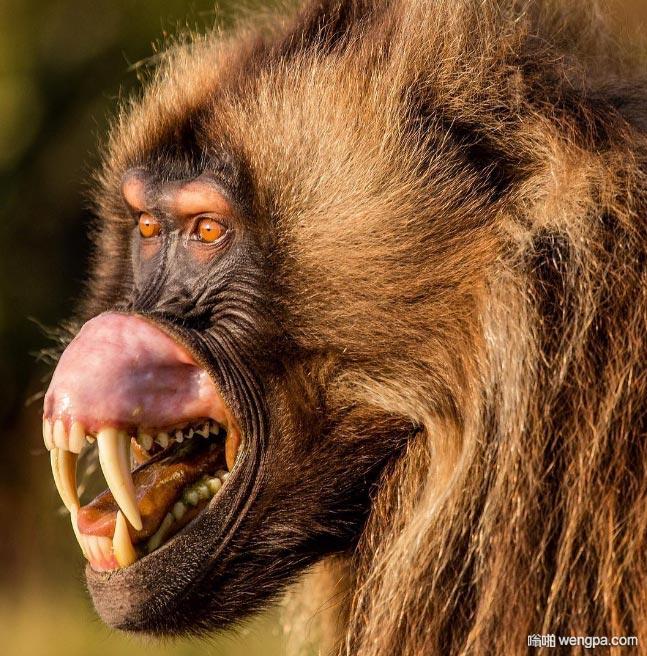 原来狒狒犬牙这么吓人