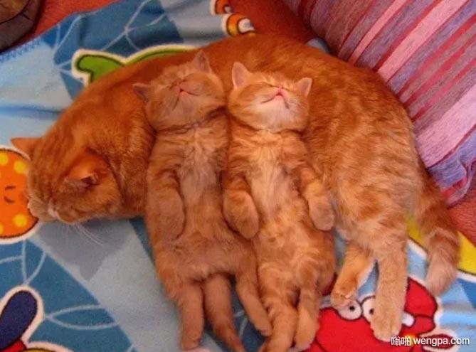 小猫咪睡在妈妈的身上 太可爱了 橘皮猫萌宠图片 - 嗡啪网