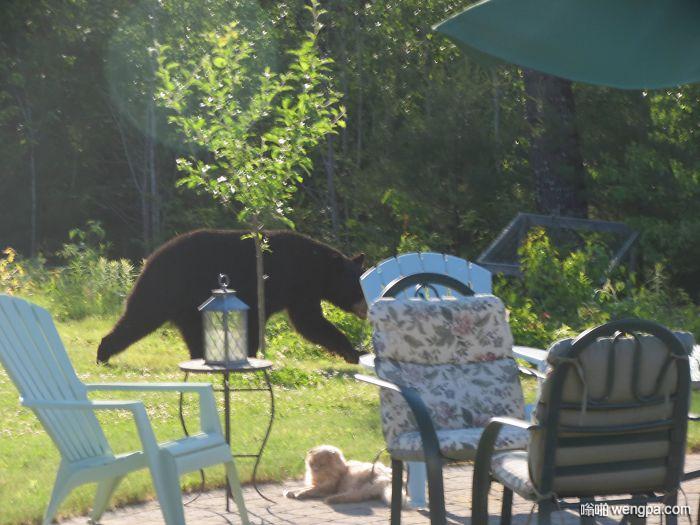 一只熊闯进了院子 猫不在乎