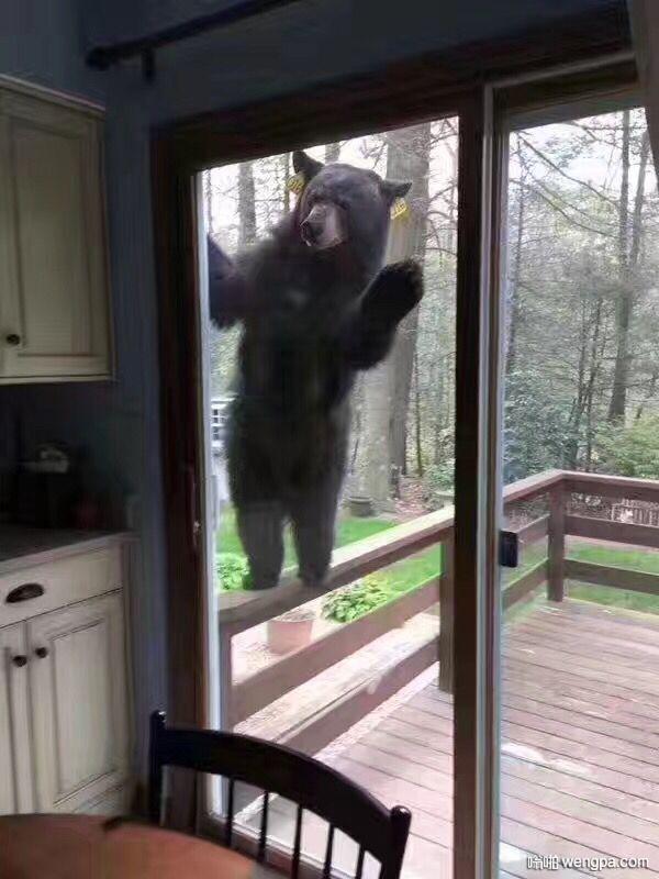 熊:早上好  同事在康涅狄格州 屋子外面熊打招呼 - 嗡啪网