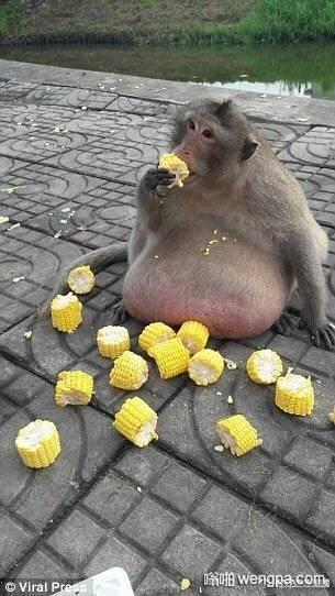 这只泰国胖猴已经不能上树 不要再这么喂了