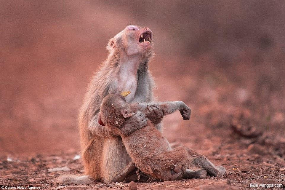 心碎的猴子妈妈以为孩子离开了她 小猴子几分钟后恢复了意识
