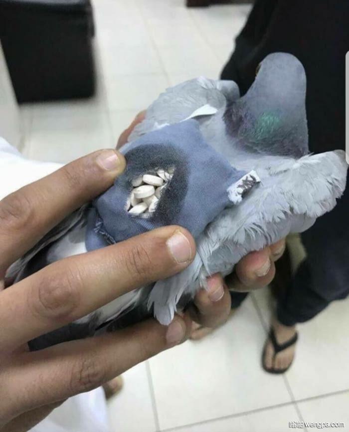 警方抓到一只运送200颗摇头丸的鸽子