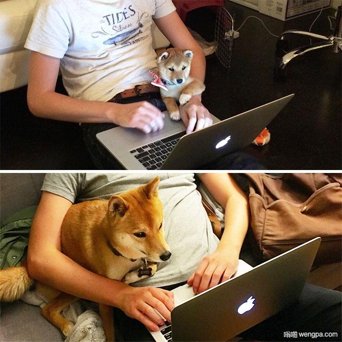主人还是那个主人 狗狗还是那个狗狗 可爱柴犬 - 嗡啪网