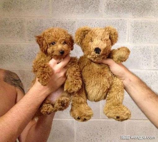 泰迪之所以叫泰迪 泰迪犬搞笑图片 - 嗡啪网