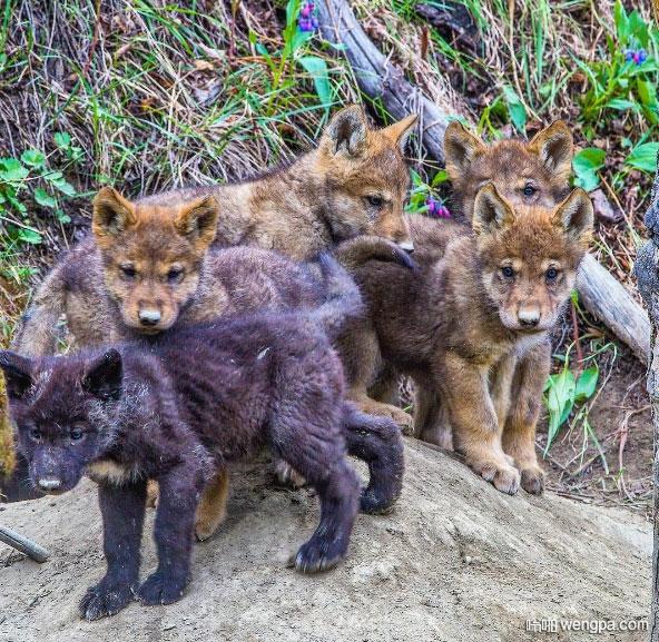 加拿大狼崽走出洞外呼吸春天的空气