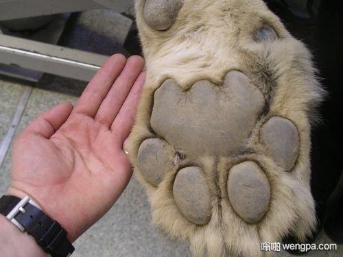 狮子的爪子vs人的手